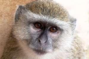 vaccines-green-monkey